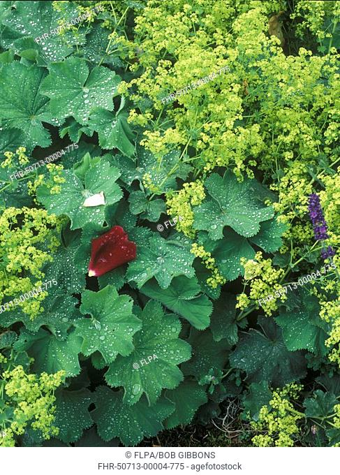Lady's Mantle Alchemilla mollis with Rose 'Papa Mailland' petal