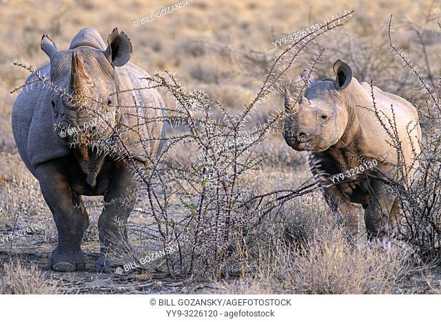 Black Rhino (Diceros bicornis) mother and calf - near Etosha National Park, Namibia, Africa
