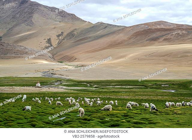 Herd of goats and sheep. Nomads campsite during their summer festival in Tso Moriri lake, Ladakh (India)