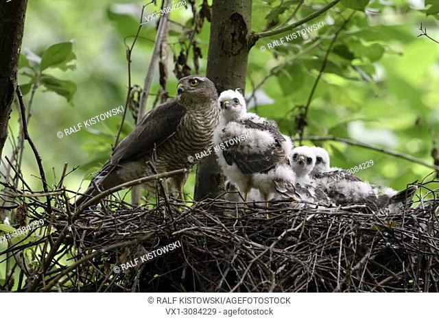 Sparrowhawk ( Accipiter nisus ), adult female with grown up chicks, moulting adolescents in nest, cute and funny, wildlife, Europe
