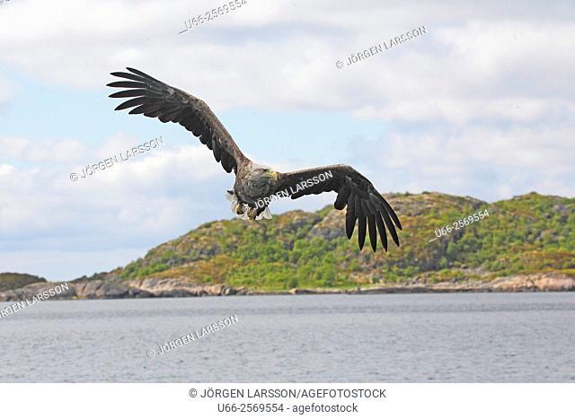 White tailed eagle (Haliaeetus albicilla), Trollfjorden, Lofoten, Norway