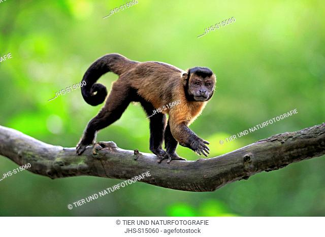 Brown Capuchin, tufted capuchin, black-capped capuchin, (Cebus apella), adult on tree, South America