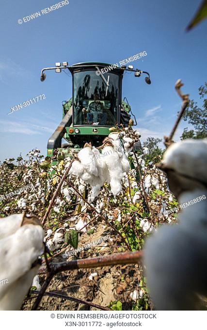 Low angle view of a field of mature cotton as it is about to be harvested by cotton picker, Tifton, Georgia. USA
