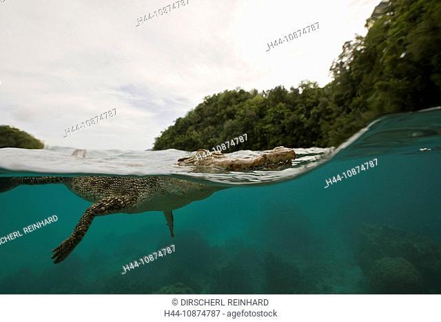 Salzwasser-Krokodil, Crocodylus porosus, Mikronesien, Palau, Saltwater Crocodile, Crocodylus porosus, Micronesia, Palau