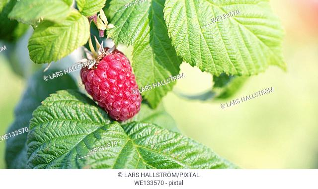 Close up of ripe raspberry on bush in garden