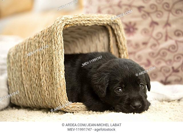 Black Labrador Dog, puppy