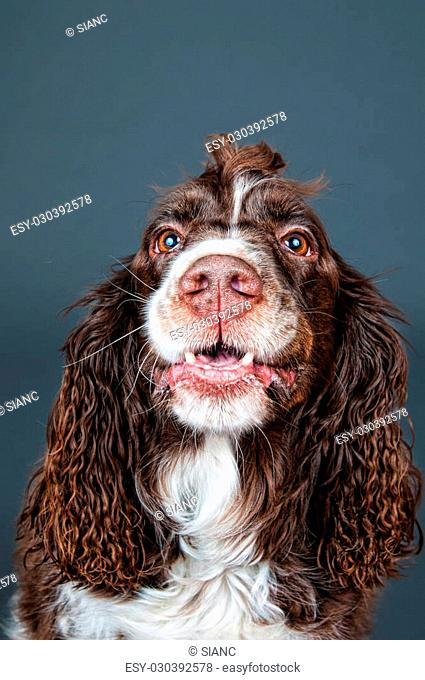 springer spaniel dog with a funny expression