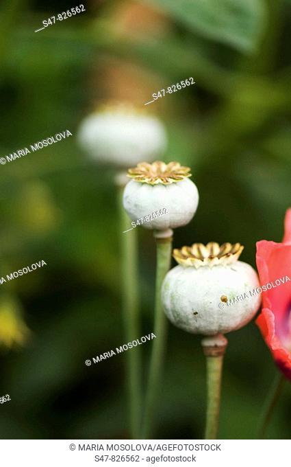 Peony Poppy Seedheads. Papaver somniferum