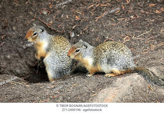 Canada, Alberta, Banff National Park, columbian ground squirrel, urocitellus columbianus,
