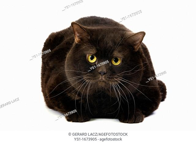 Chocolate British Shorthair Domestic Cat, Male laying against White Background