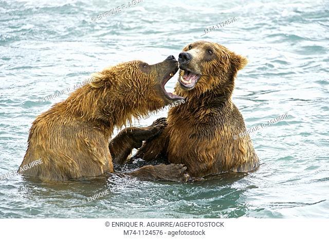 American Brown bear/Grizzly bear Ursus arctos horribilis, McNeil River Sanctuary, Alaska