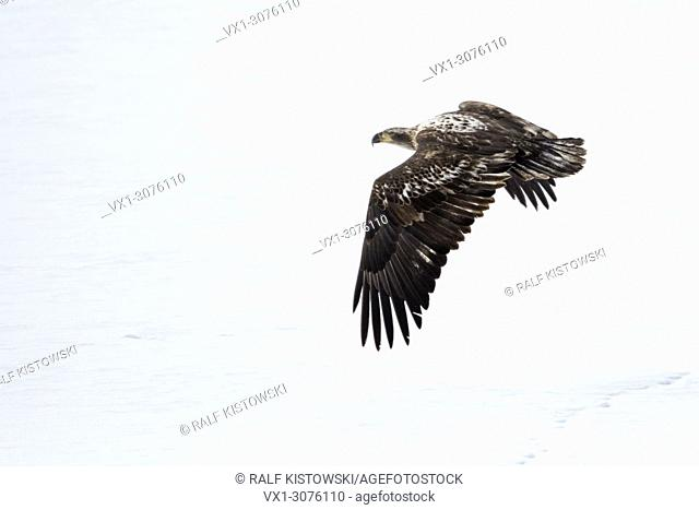 Bald Eagle ( Haliaeetus leucocephalus ) in winter, young bird, immature, juvenile, flying away over snow covered open land, Yellowstone, USA.