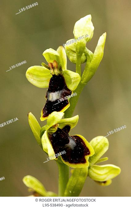 Ophrys insectifera,  Spring orchid, Montseny Nature Reserve, Spain