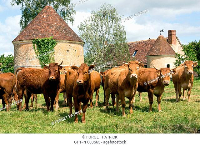 LIM-ANGUS AND LIMOUSINE CATTLE AND COW FARM, PRODUCE OF THE LAND, LES ETILLEUX (28), FRANCE