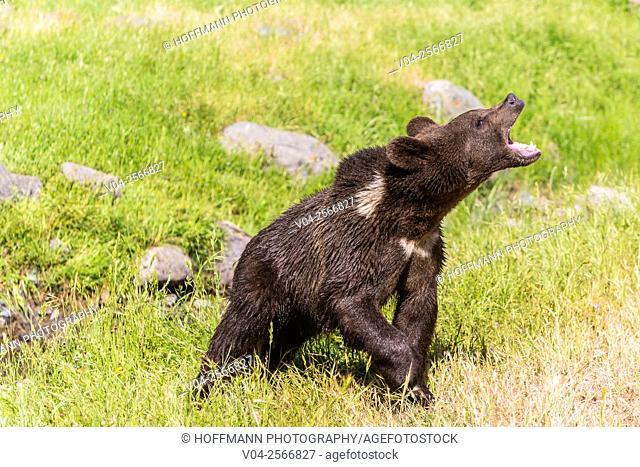 Young grizzly bear (Ursus arctos horribilis) roaring, captive, California, USA