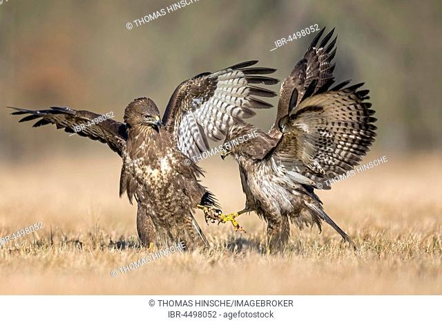 Common buzzards (Buteo buteo) fighting for food, Middle Elbe Biosphere Reserve, Germany