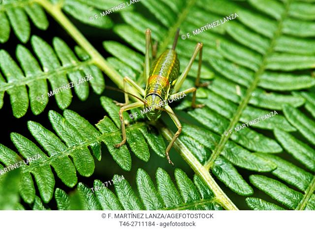 Grasshopper nymph, immature stage. Casillas, Avila province, Spain