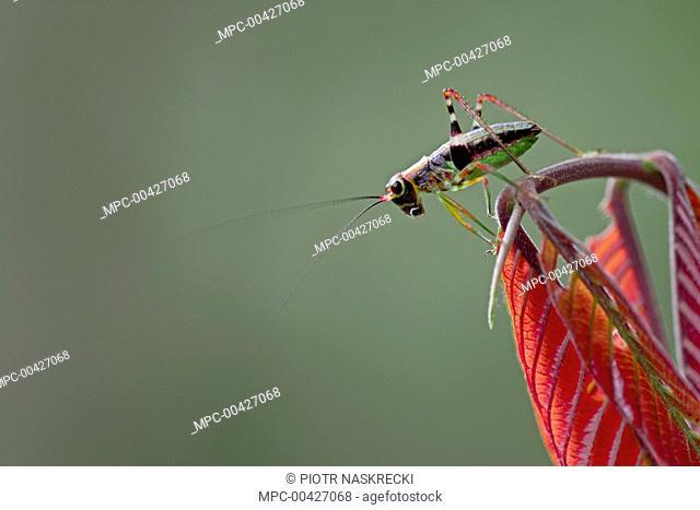 Katydid (Tettigoniidae) on young red leaves, Ajenjua Bepo Forest Reserve, Ghana
