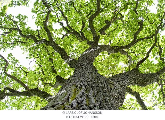 An oak-tree, Oland, Sweden