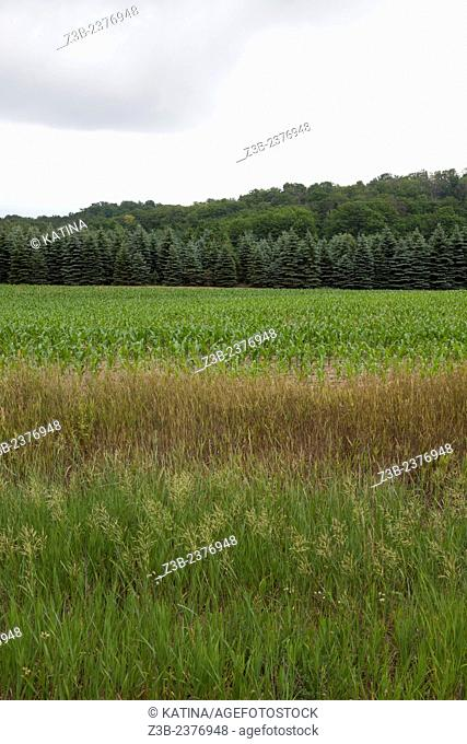 Cornfield and blue spruce trees on an overcast day, near Traverse City, Michigan, MI, USA