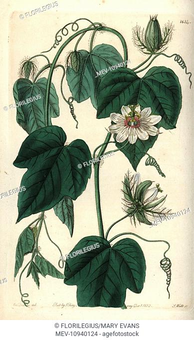 Stinking passionflower, Passiflora foetida var. gossypiifolia. Handcolored copperplate engraving by S. Watts after an illustration by Miss Sarah Drake from...