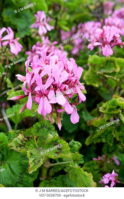 Horse-shoe pelargonium (Pelargonium zonale) is a shrub native to southern Africa. Flowers and leaves detail