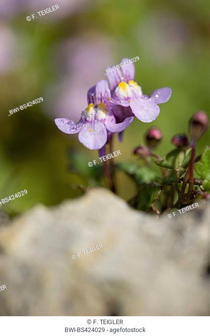 Kenilworth ivy, Ivy-leaved toadflax, Coliseum ivy (Cymbalaria muralis, Linaria muralis), flowers, Germany, BG-MZ