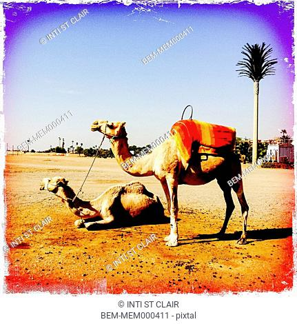 Distressed photograph of camels in desert landscape, Marrakech, Morocco
