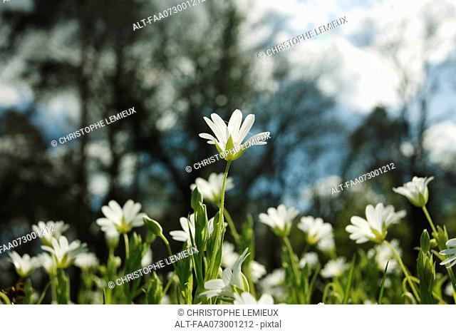 Greater Stitchwort Stellaria holostea flowers