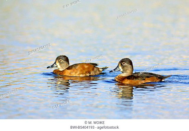 ring-neched duck (Aythya collaris), two swimming females, Canary Islands, Fuerteventura