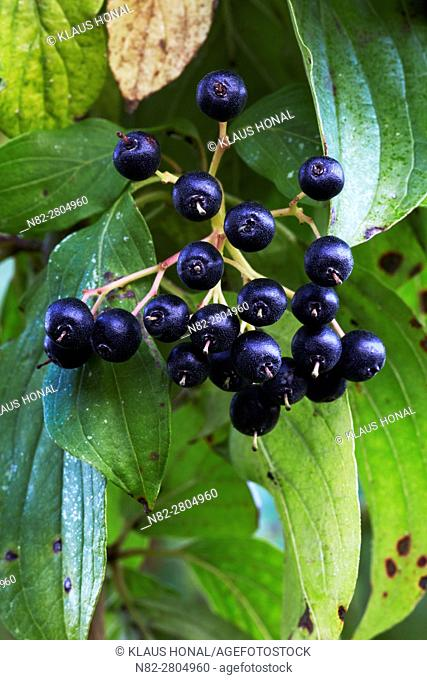 Dogwood (Cornus sanguinea) berries, the ripe black-blue stone fruits are a real treat for many birds in the autumn - Region Hesselberg, Bavaria/Germany