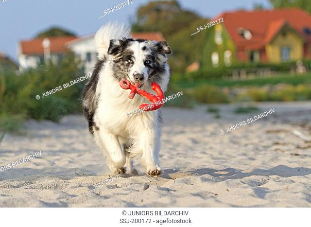 Australian Shepherd fetching a red toy in the shape of an anchor. Germany