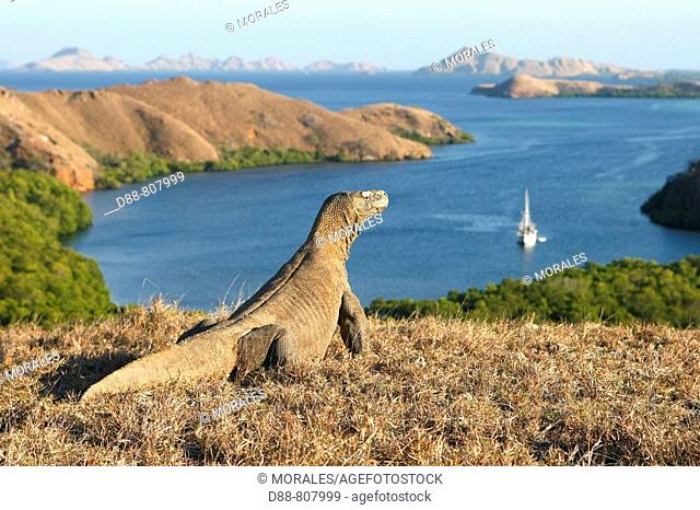 Komodo dragon (Varanus komodoensis) looking at Rinca and other islands of the Lesser Sunda group. Komodo island, Indonesia