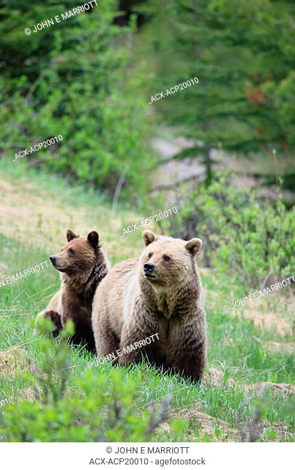 Grizzly bear Ursus arctos horribilis sow with her yearling cub in the subalpine in the Canadian Rockies, Western Canada