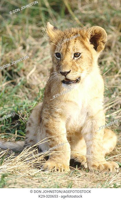 Young lion (Panthera leo). Masai Mara. Kenya