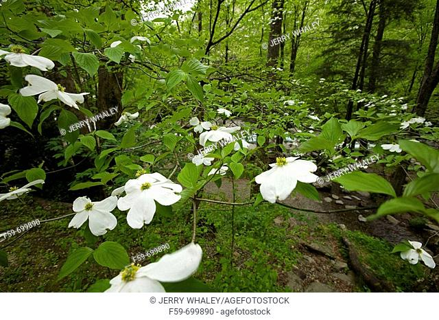 Dogwood, Newfound Gap Rd, Great Smoky Mountains National Park, Tennessee, USA