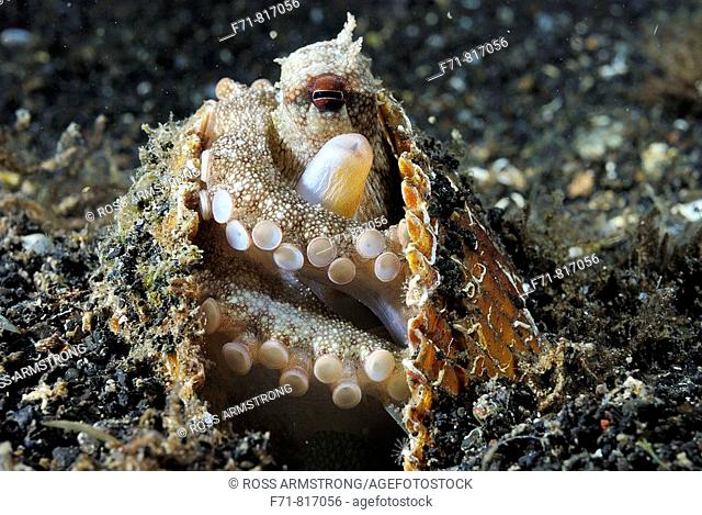 Veined octopus (Amphioctopus margininatus) also known as the coconut octopus.  Lembeh Strait, Celebes Sea, North Sulawesi, Indonesia