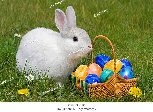domestic rabbit (Oryctolagus cuniculus f. domestica), Easter bunny with basket full of Easter eggs in a meadow, Germany