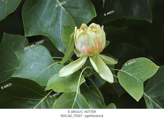 Tulip Tree blossom Liriodendron tulipifera