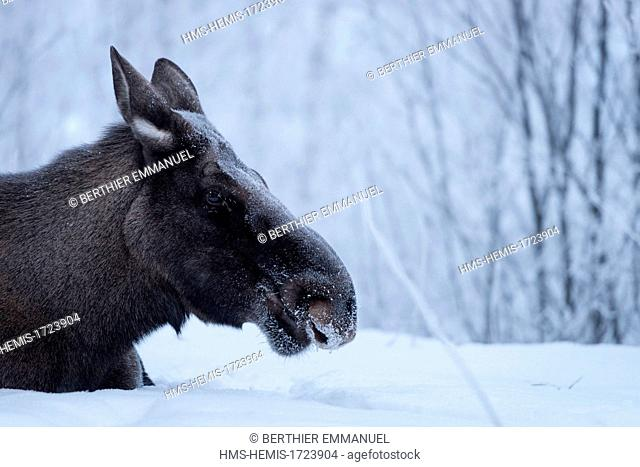 Sweden, Lapland, Norrbotten, Kiruna, moose in the national park of Abisko in Swedish Lapland