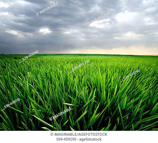 Rice field. Ebro river delta, Tarragona province. Catalonia, Spain