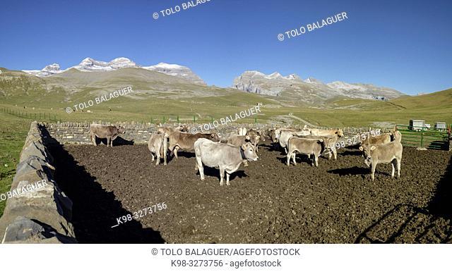 cercado de vacas, Llano Tripals, parque nacional de Ordesa y Monte Perdido, comarca del Sobrarbe, Huesca, Aragón, cordillera de los Pirineos, Spain