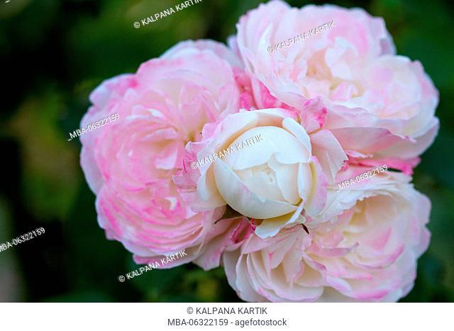Roses of Bagatelle