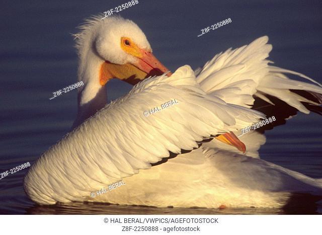 American White Pelican grooming it's feathers.(Pelecanus erythrorhynchos).Bolsa Chica Wetlands,California
