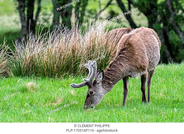 Red deer (Cervus elaphus) stag with antlers covered in velvet grazing in grassland in the rain in the Scottish Highlands in spring, Scotland, UK