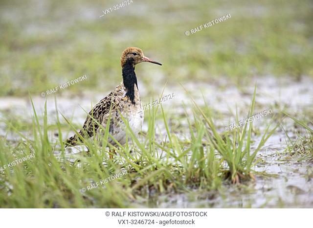 Ruff / Kampflaeufer ( Philomachus pugnax ), male, resting in marshland during spring migration, searching for food, wildlife, Germany
