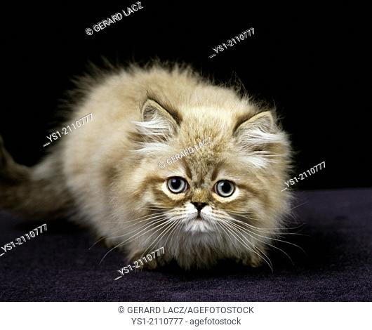 Colourpoint Persian Domestic Cat, Kitten standing against Black Background