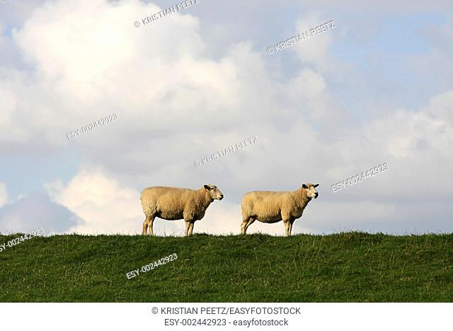 Two sheeps standing
