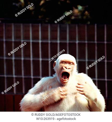 'Copito de nieve' (Snowflake; c. 1964 - november 24, 2003), the only albino gorilla known to man. Barcelona Zoo. Spain