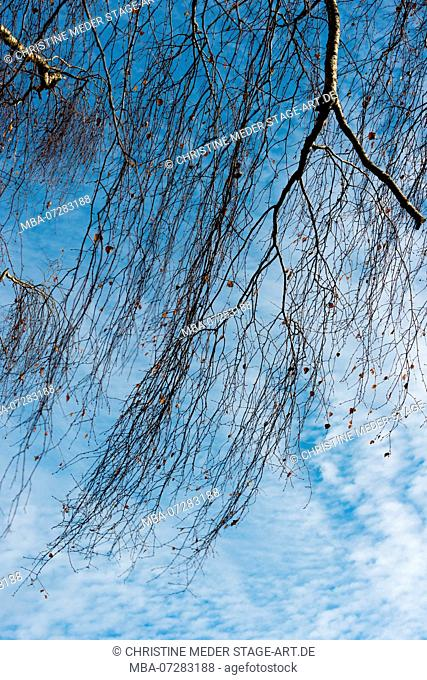 Birch in winter, bare branches in the wind